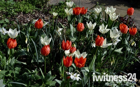 Tulips ablaze in Aldborough Hatch