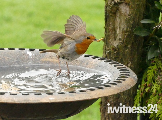 Robin gets wet feet.