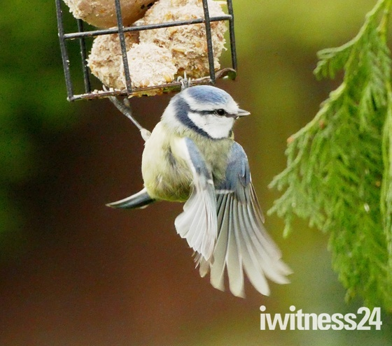 Blue tit hangs on tight.