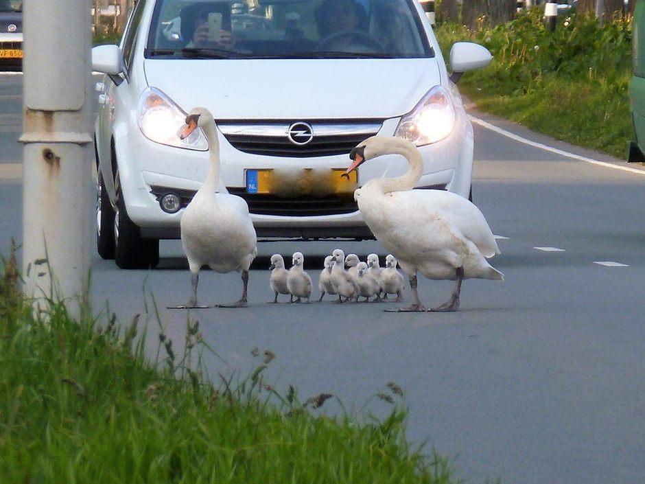 Familie zwaan op de autoweg