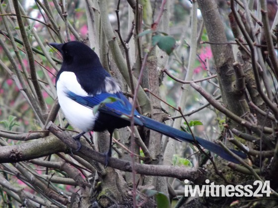 A BEAUTIFUL MAGPIE
