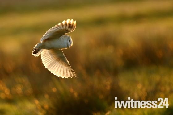 Barn Owl hunting in the sun.
