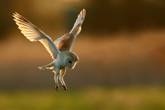Barn Owl hunting in the sun.