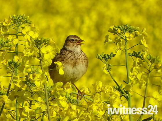Skylark singing in the rape field.