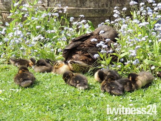 Blackbird chicks & ducklings