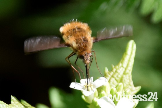 Bee fly's