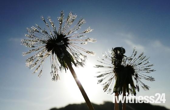Dew on Dandelion seed heads.