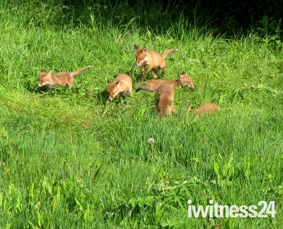 Fox cubs come out to play in the sunshine