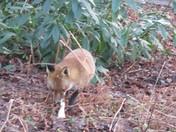 beautiful dog fox in woodland