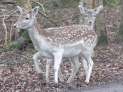 Fallow Deer with Fawn