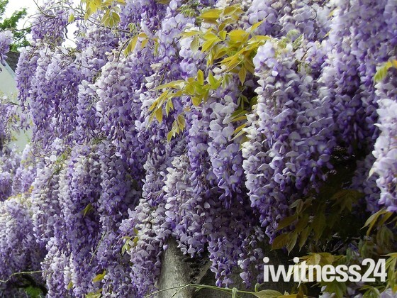 WISTERIA   AT ST.GILES CHURCH - PART 1