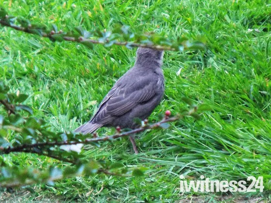OUR FIRST FLEDGLING STARLING
