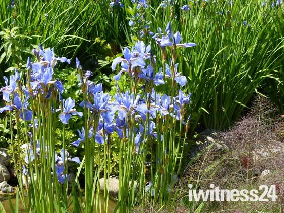Blue Iris At Pensthorpe