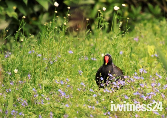 Moorhen in the wildflowers