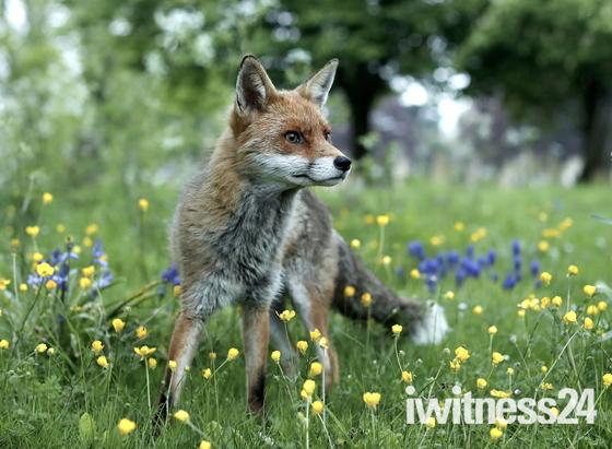 Handsome Mr Fox.