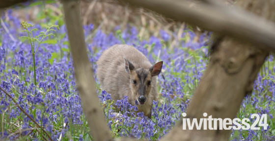 In the BlueBells at RSPB Minsmere
