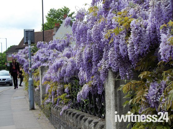 WISTERIA AT ST GILES CHURCH, NORWICH - PART 2