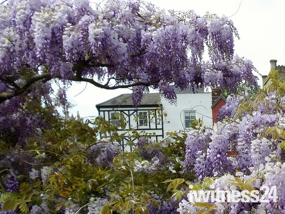 FRAMED IN WISTERIA
