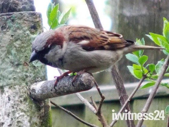 THE HOUSE SPARROW IN THE GARDEN