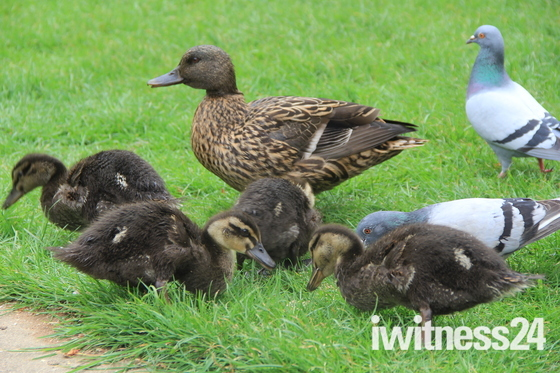Out and About- The mallard family