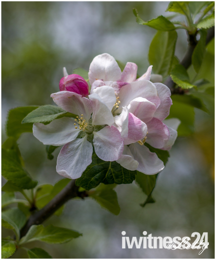 Beautiful Apple Blossom