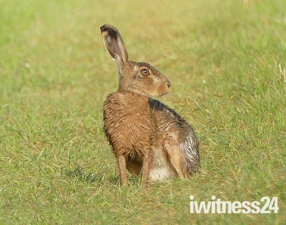 Very wet hare.