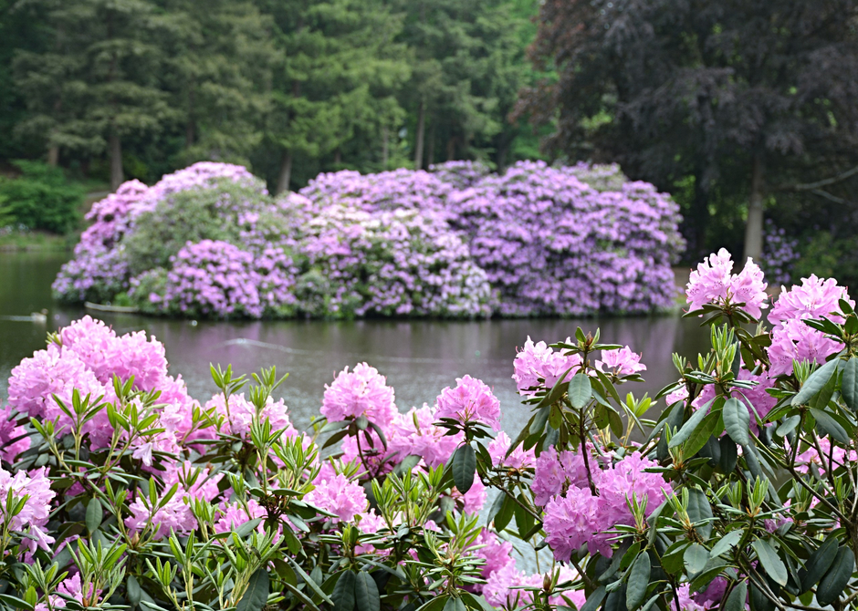 Rododendron.