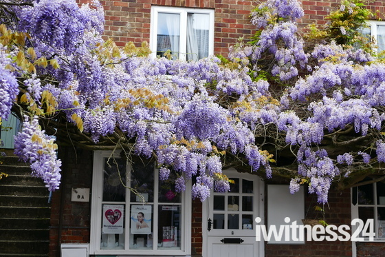 Beautifully Fragrant Wisteria At Newmans Yard