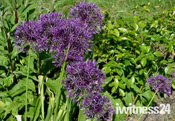Spring purple in Community Memorial Garden