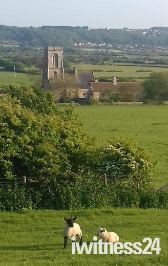 Lambs above Woodspring Priory