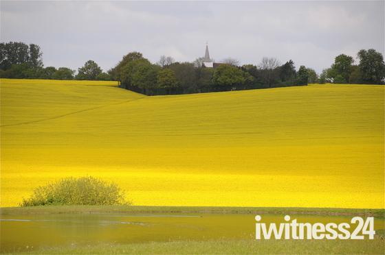 Field of rapeseed