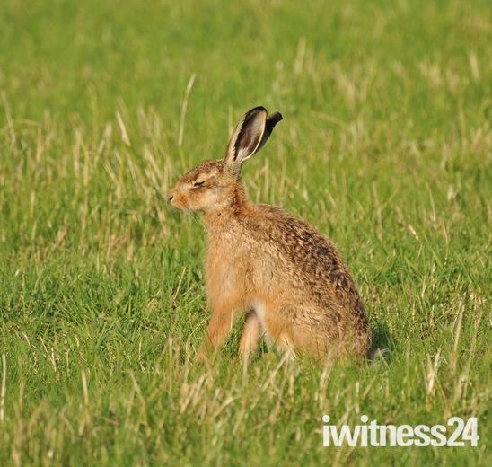 Early bird hare