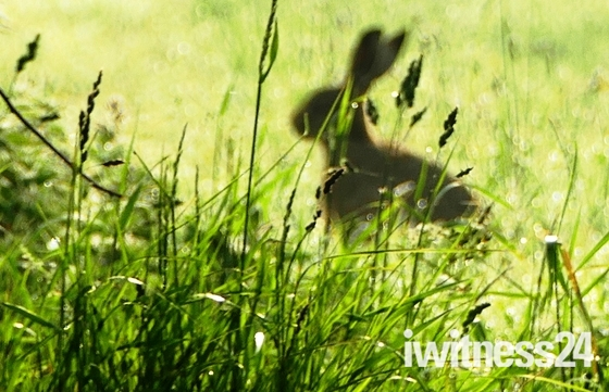 Silhouette of hare in the early morning dew.(photo challenge)