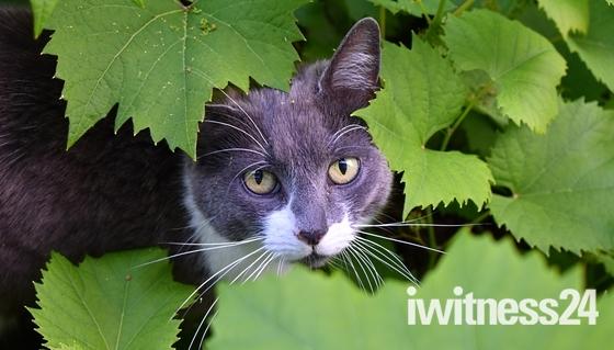 Cat Amongst Leaves