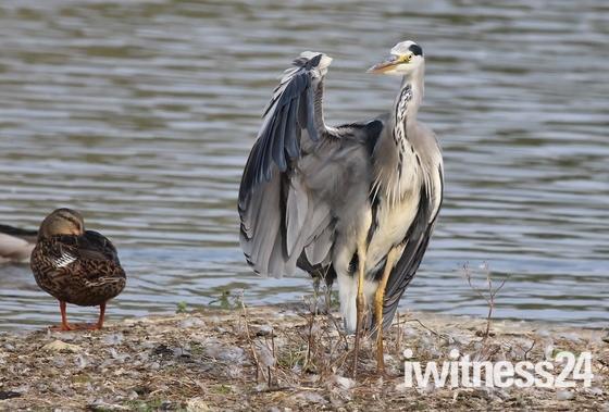 Got wings - Heron at Lackford Lakes