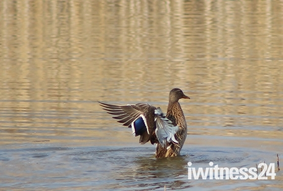 Got Wings - A Mallard displaying