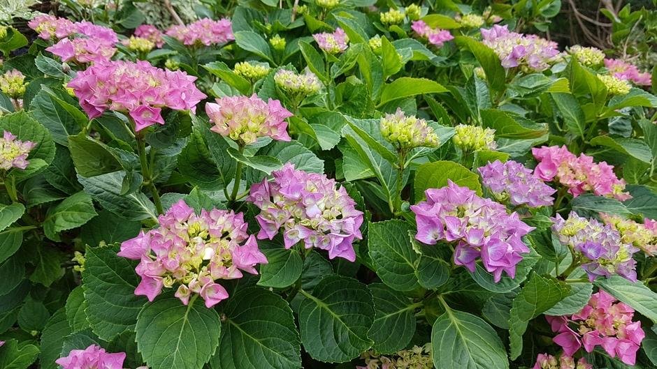 Hortensia's al volop in bloei