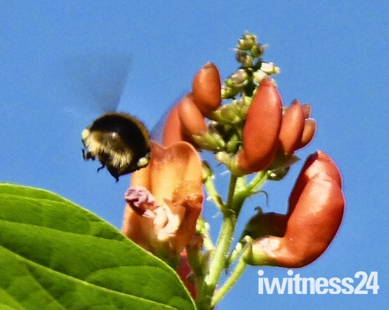 Bumble bee heads for my runner bean flowers