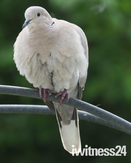The pretty collared dove.