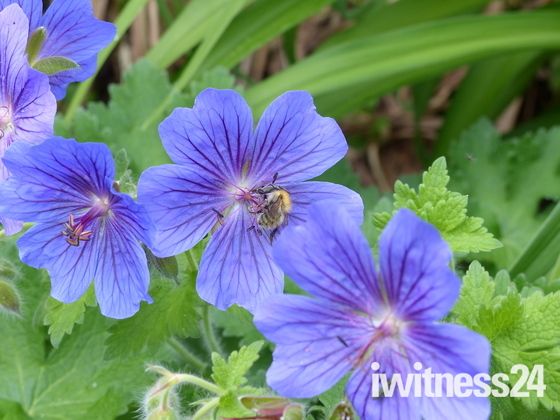 Blue Geranium And A Bee Collecting Pollen