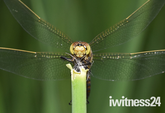 female black tailed chaser
