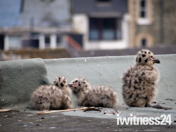 seagull chicks