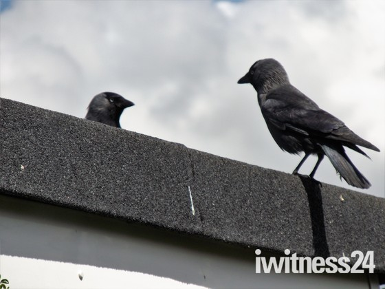 JACKDAWS IN THE GARDEN