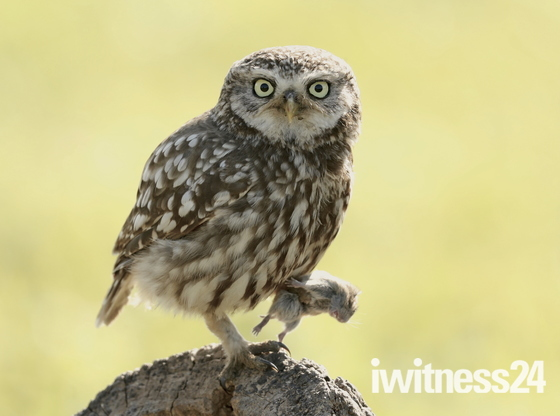 Little Owl at Fen Farm