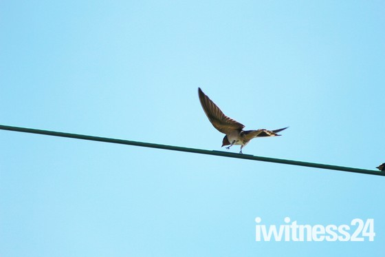 Male swallow