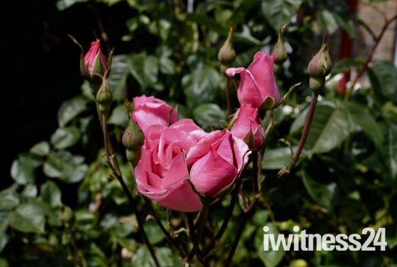 Delicate shades of colour in garden in Aldborough Hatch