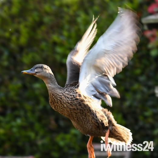 Duck taking flight