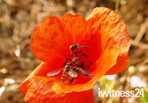 Hoverflies on a poppy