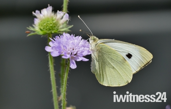 Large White butterfly in the garden.