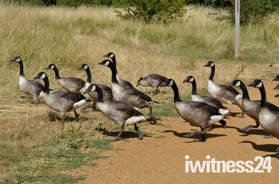 Canada Geese at Fairlop Waters